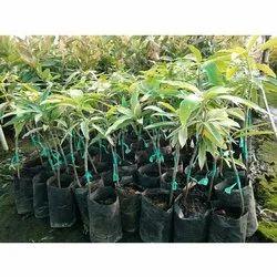 Sweet Dasheri Grafted Mango Plant, Kaser