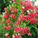 Madhumalti Plant