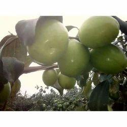Apple Ber Tree