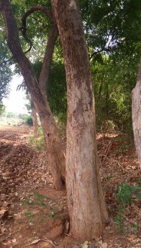 Chellaiya Forms - Manufacturer of Red Sandal Tree & Red Sandal Wood