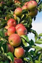 H R M N 99 Apple Plant
