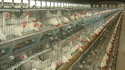 Commercial Chicken Cage