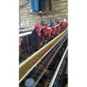Sasso Breed  Country Chicken