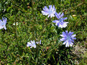Kasni (Chicory) Herbal Extract