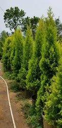Golden Cypress (Juniper)