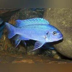 Mix Color Cichlid Fish