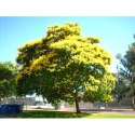 Peltophorum Pterocarpum Tree