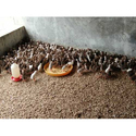 Fowl Chicks