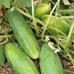 Green Fresh Organic Cucumber