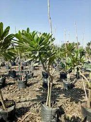 Pansare Nursery Green Dwarf Plumeria Plant for Garden