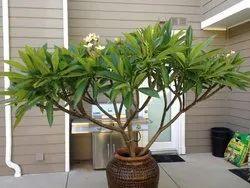 As A Tree Full Sun Exposure Plumeria Rubra, Packaging Type: Bag, Summer Bloom