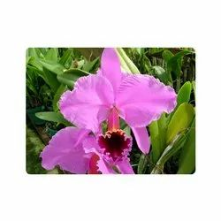 Bouquet Packing Pink Cattleya Orchid Flower Plant