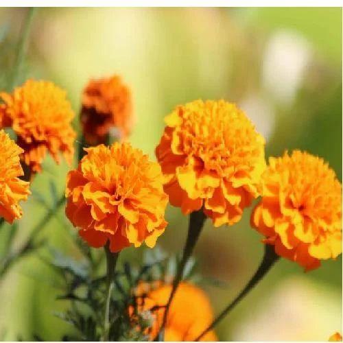 Marigold flower at rs 300 kilogram koyambedu chennai id marigold flower mightylinksfo