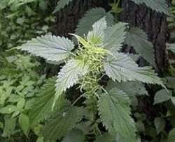 Stinging Nettle Leaves - Urtica Dioica - Bichhu Buti