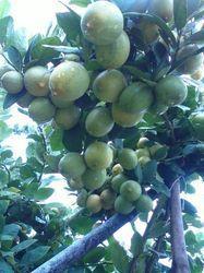 Thai Seedless Lemon Tree