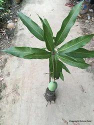 Mango Plant In Delhi आम का पौधा दिल्ली Latest Price