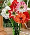 Amaryllis Lily Flowers Bulbs (500)