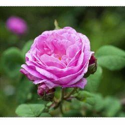 Rose De Mal Oil