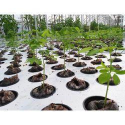 Well Watered Moringa Oleifera Moringa Plants