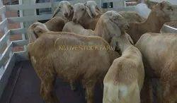 Live Mechari Sheep