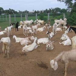 Goat Farming Service in India