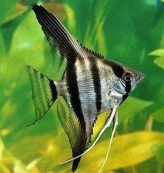 Natural Angel Fish, Size: Normal