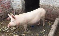 Largewhite Yorkshire  Pig