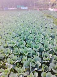 Green Fresh Cabbage, Pesticide Free (for Raw Products)