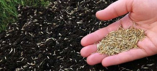 Seeds Bermuda Grass Seeds Service Provider From Bengaluru