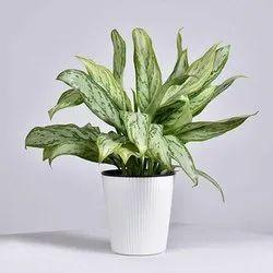 Aglaonema Silver king Plant