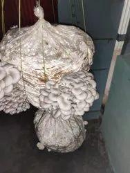 Natural White Pleurotus Oyster Mushroom Spawn, Packaging Type: Bag, Packaging Size: 20kg