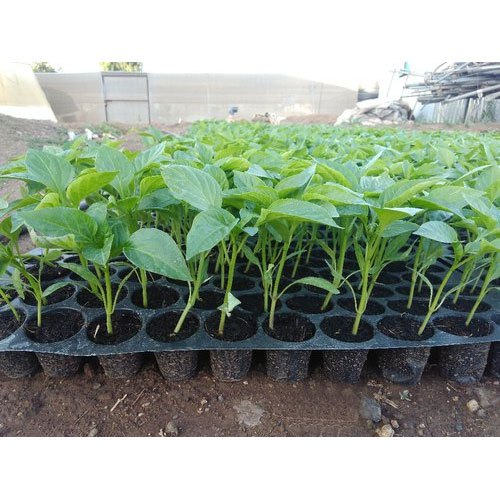 Green Chilli Organic Plant