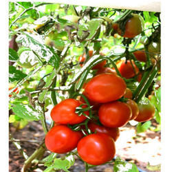 Hybrid Tomato Seeds TM - 1009