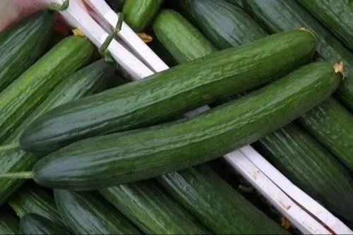 Agriplast Hybrid Polyhouse Cucumber Seeds