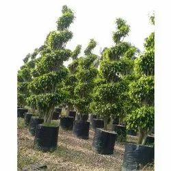 Green Full Sun Exposure Ficus Plant