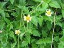 Ghamara Plant