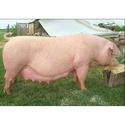 Pig Breeder Feed
