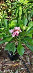 Super Pink Plumeria Plant