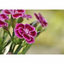 Perennial Carnation Flowering Plant