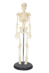 Medium Human Skeleton