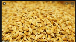 Silver Rice Seed