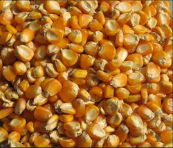 Yellow Corn  (Grain)