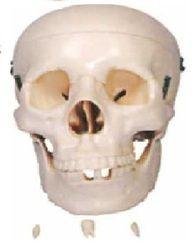 Life Size Skull Models