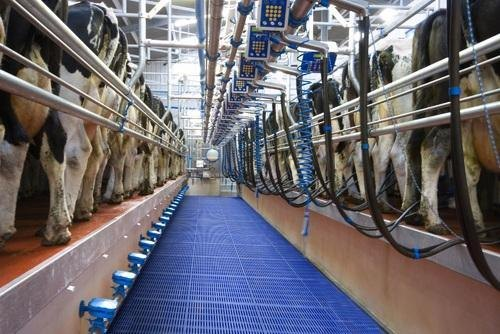 Milking Parlor Cow Swingover