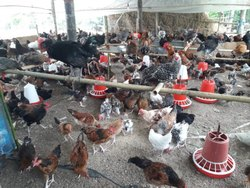 Broiler Chicks in Guwahati - Latest Price & Mandi Rates from