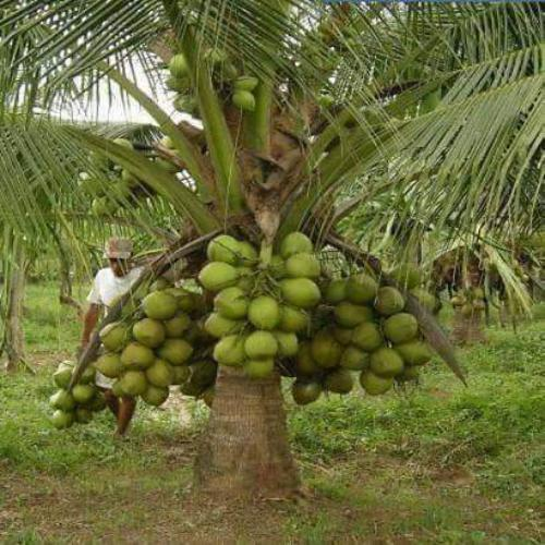 Dxt Hybrid Coconut Plants