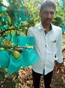 TISSUE CULTURE SUVARNA GUAVA PLANTS