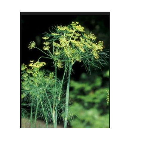 Tylophora Indica ( T  Asthmatica) & Citrus Aurantium