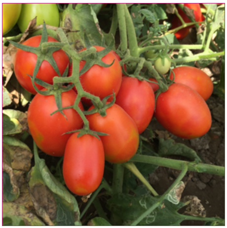 Hy  Tomato - Hy Tomato Swati-555 Wholesale Sellers from