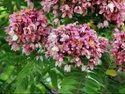 Cassia Javanica Plants